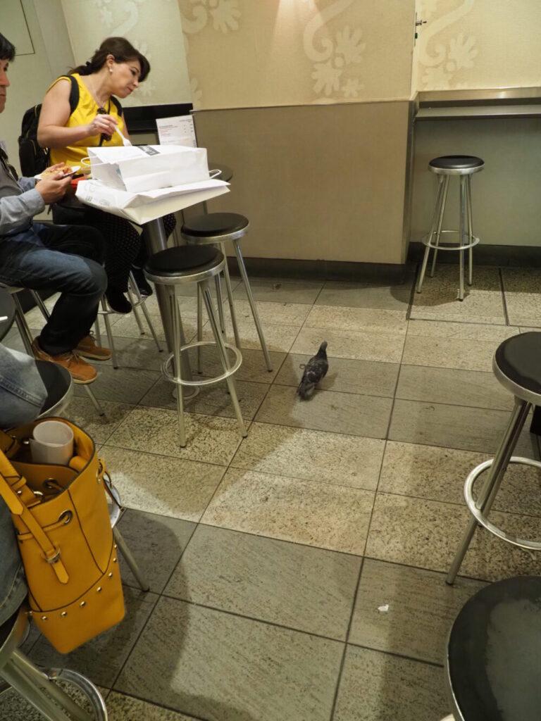 飲食店内に侵入するハト